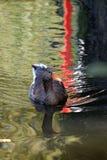 Natación del pato en el lago imagen de archivo libre de regalías