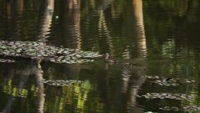 Natación del pato en la charca almacen de metraje de vídeo