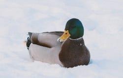 Natación del pato en la nieve Fotografía de archivo