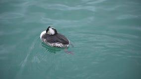Natación del pato en primer del mar almacen de metraje de vídeo