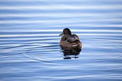 Natación del pato en un río fotografía de archivo