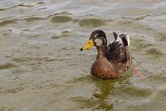 Natación del pato en una charca Imagenes de archivo