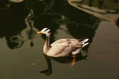 Natación del pato salvaje Imagen de archivo libre de regalías