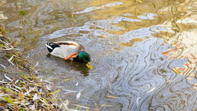 Natación del pato salvaje almacen de video