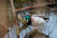 Natación del pato salvaje en el lago Foto de archivo libre de regalías
