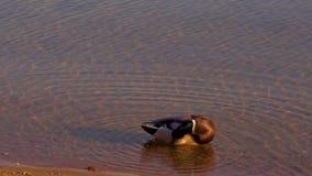 Natación del pato salvaje en primer de las aguas de río metrajes