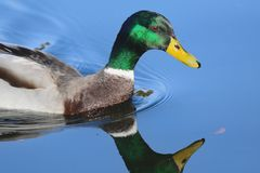 Natación del pato del pato silvestre fotos de archivo