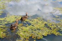Natación del pato del pato silvestre de dos patos machos en la charca foto de archivo libre de regalías