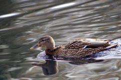 Natación del pato silvestre de la hembra adulta en la charca foto de archivo libre de regalías