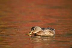 Natación del pato del pato silvestre en el agua anaranjada en caída en la oscuridad imagenes de archivo