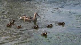 Natación del pato del pato silvestre a lo largo de un río metrajes