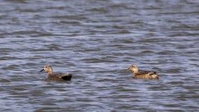 Natación del pato zambullidor Imagen de archivo libre de regalías
