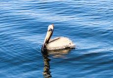 Natación del pelícano en el agua azul Fotografía de archivo