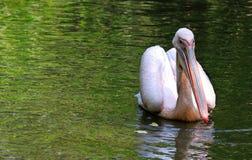 Natación del pelícano en el lago Fotografía de archivo