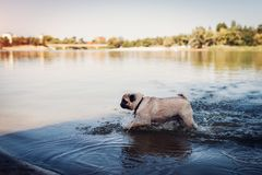Natación del perro del barro amasado en el río Perrito feliz que corre en agua Perro que se divierte imágenes de archivo libres de regalías