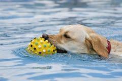 Natación del perro con el juguete Foto de archivo libre de regalías