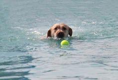 Natación del perro de Labrador imagenes de archivo