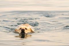 Natación del perro de Labrador en el mar Foto de archivo libre de regalías