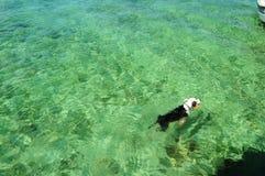 Natación del perro en el mar Imagen de archivo libre de regalías