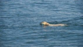 Natación del perro en el mar con la boca del juguete Fotografía de archivo libre de regalías