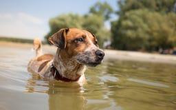 Natación del perro en el río foto de archivo