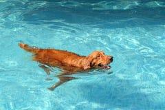 Natación del perro del golden retriever en piscina y bola en su boca fotos de archivo libres de regalías