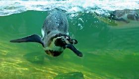 Natación del pingüino de Humboldt Imagenes de archivo