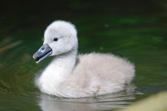 Natación del pollo del cisne en el agua fotos de archivo libres de regalías