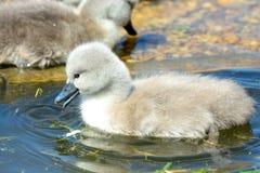 Natación del pollo del cisne en el agua fotografía de archivo libre de regalías