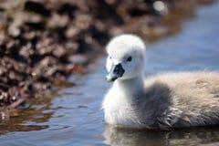 Natación del pollo del cisne en el agua fotos de archivo