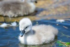 Natación del pollo del cisne en el agua imágenes de archivo libres de regalías