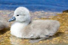 Natación del pollo del cisne en el agua imagenes de archivo