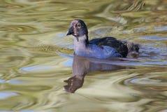 Natación del polluelo de Pukeko en el río Imagen de archivo libre de regalías