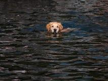 Natación del retrato del perro del golden retriever en un lago imagen de archivo