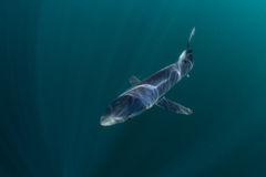 Natación del tiburón azul en aguas oscuras Imagen de archivo