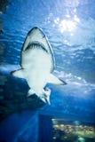 Natación del tiburón blanco Imagenes de archivo
