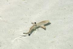 Natación del tiburón de la extremidad del negro del bebé en aguas del claro del Océano Pacífico imagen de archivo