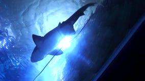 natación del tiburón en el acuario metrajes