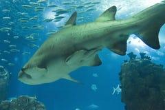 Natación del tiburón en el acuario de Lisboa Imágenes de archivo libres de regalías
