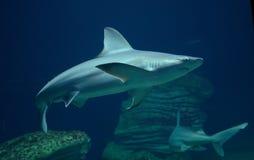 Natación del tiburón en el mar Fotografía de archivo libre de regalías