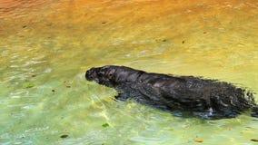 Natación enana del hipopótamo Foto de archivo