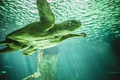 Natación enorme de la tortuga debajo del mar Imágenes de archivo libres de regalías