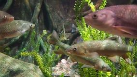 Natación europea de los pescados de la carpa de los cachos almacen de metraje de vídeo