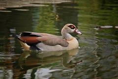 Natación exótica hermosa del pato Fotografía de archivo