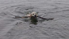 Natación feliz del perro con el palillo en agua de mar almacen de metraje de vídeo