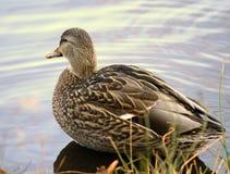 Natación femenina del pato del pato silvestre Foto de archivo libre de regalías