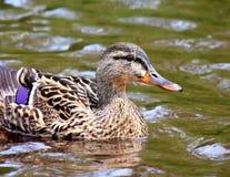 Natación femenina del pato del pato silvestre Fotografía de archivo