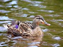 Natación femenina del pato del pato silvestre en agua Fotos de archivo libres de regalías