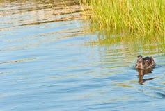 Natación femenina del pato del pato silvestre en aguas traseras de la isla de Nantucket Fotografía de archivo libre de regalías