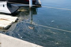 Natación femenina del pato del pato silvestre en agua contaminada fotografía de archivo